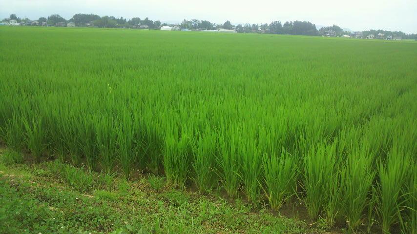 田んぼ:稲