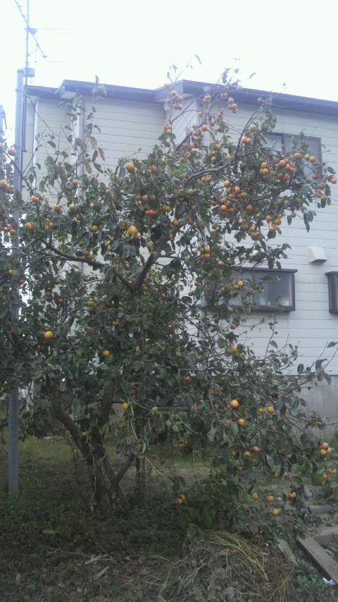 池田秀敏 裏庭の柿